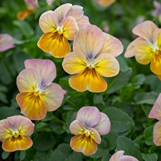 Viola cornuta 'Gem Apricot Antique'
