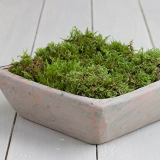 Mini Punnet of Cushion Moss
