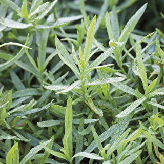 Tarragon 'French'