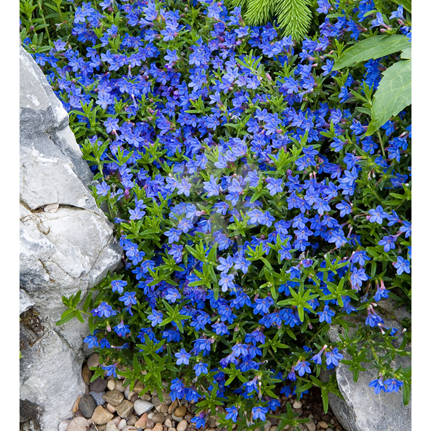 Lithodora heavenly blue izmirmasajfo