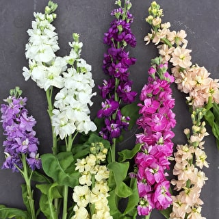 Matthiola incana 'Vintage Antique Mix'