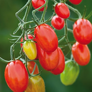 Tomato 'Red Grape Sugar Plum'