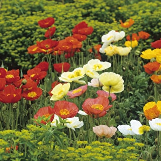 Papaver nudicaule 'Party Fun'