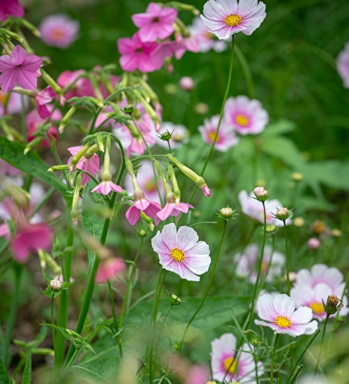 Cottage Garden Pinks Collection