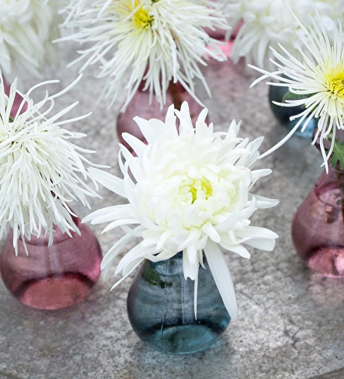 White Chrysanths Collection