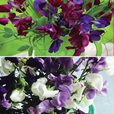 Venetian & Amethyst Sweet Pea Collection