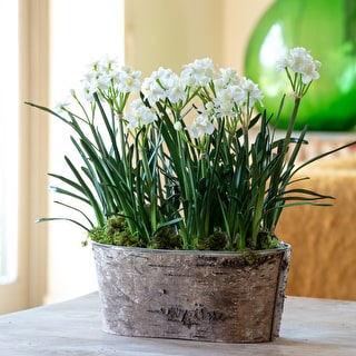 Potted Paperwhites in Zinc & Bark Trough Gift Set