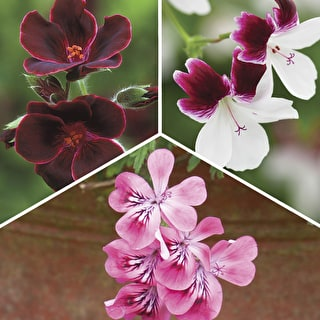 The Ultimate Pelargonium Collection