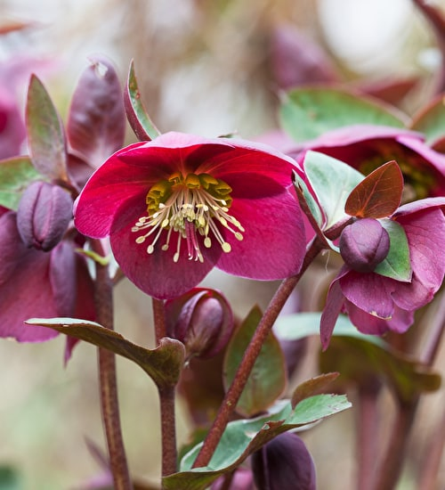 Helleborus × 'Anna's Red' (Rodney Davey Marbled Group)