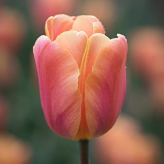 Tulip 'Salmon Jimmy'