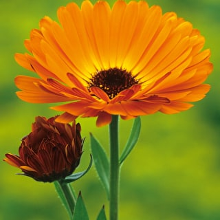 Calendula officinalis 'Indian Prince'