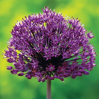 Successional Allium Collection