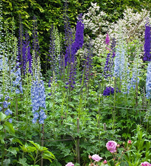 Delphinium Border Collection