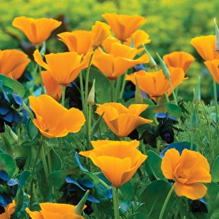 Eschscholzia californica 'Orange King'