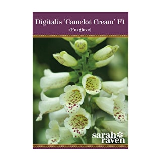Digitalis 'Camelot Cream' F1