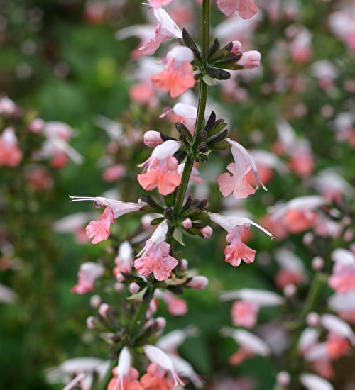 Salvia coccinea 'Summer Jewels Pink'