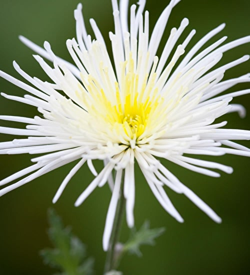 Chrysanthemum 'Spider White'