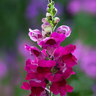 Sarah Raven Antirrhinum Collection