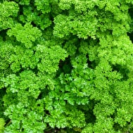 Parsley (English curly)
