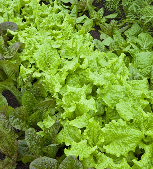 Best Winter Lettuces Mix