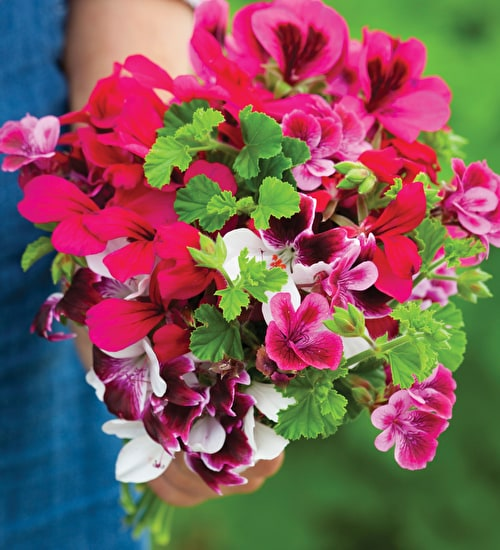 Bold and Brilliant Pelargonium Collection