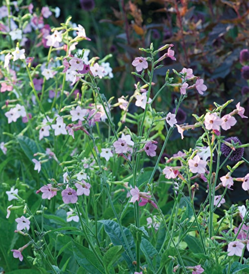 Nicotiana x hybrida 'Whisper Mixed' F1