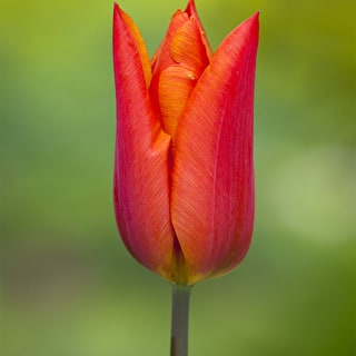 Tulip 'Veronique Sanson' and Wallflower 'Sunset Bronze Shades'