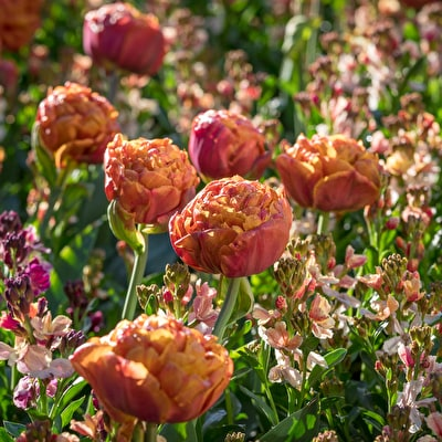 Tulip 'Brownie' and Wallflower 'Sunset Apricot'