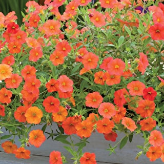 Calibrachoa 'Can Can Orange'