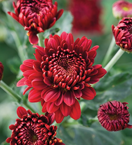 Chrysanthemum 'Gompie Red'