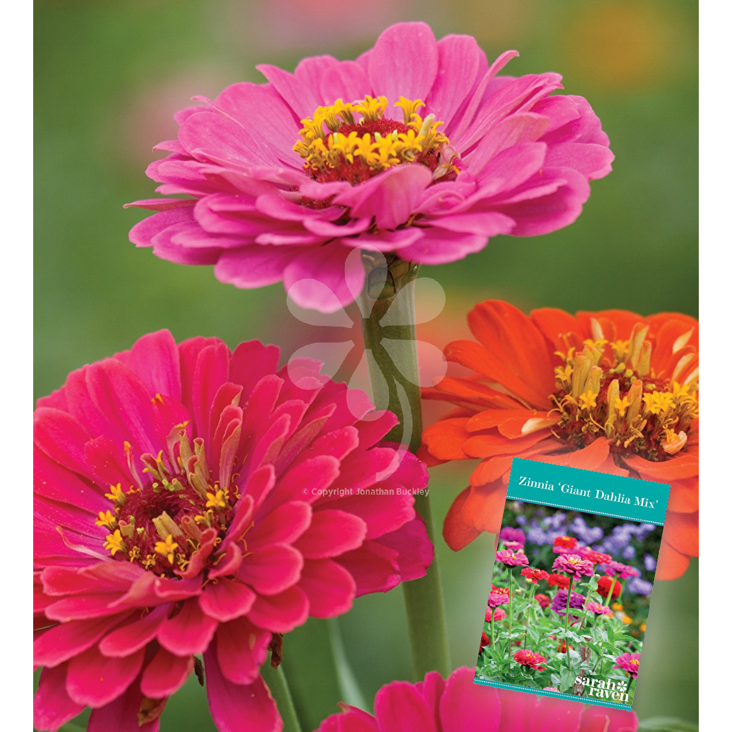 Zinnia Giant Dahlia Mix