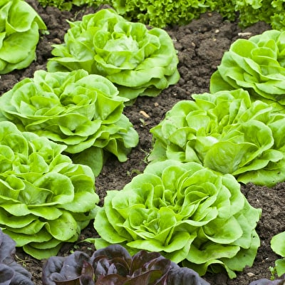 Lettuce 'Descartes'