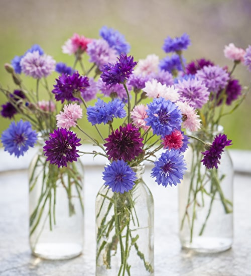 Centaurea cyanus 'Polka Dot Mixed'