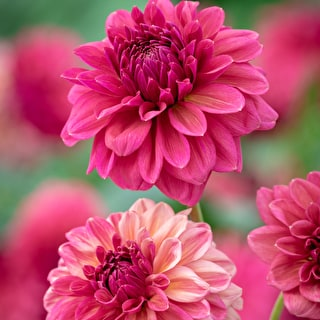 Dahlia 'Perch Hill'