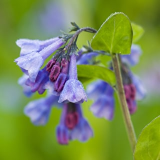Mertensia virginica (Virginia Bluebell)