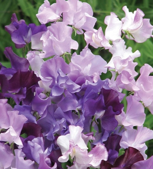 Sweet Pea 'Midnight Blues'