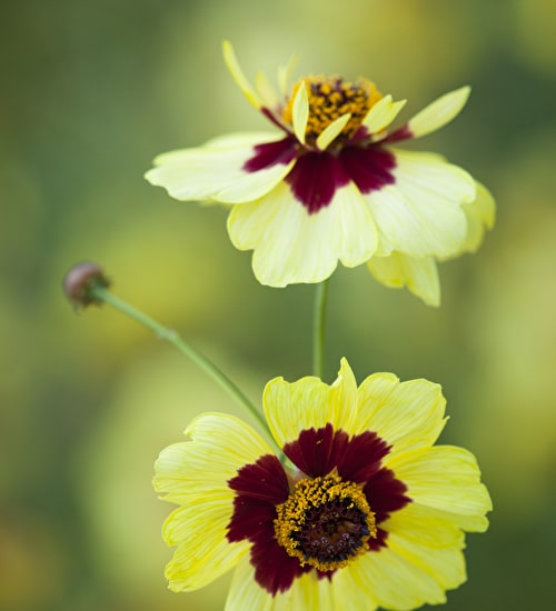 Coreopsis x hybrida 'Incredible' Tall Mix