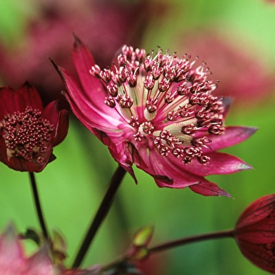 Astrantia major 'Gill Richardson Group'