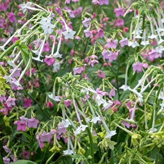 Nicotiana for Shade Collection