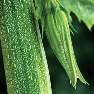 Image result for courgette plant