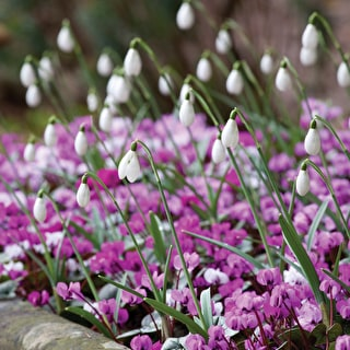 Cyclamen coum 'White & Pink Mix'