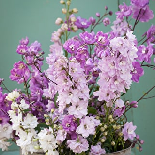 Summer Flowering Delphinium Collection