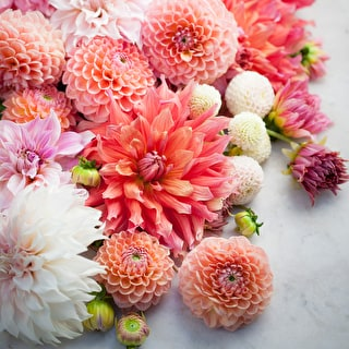 Rubens Dahlia Collection