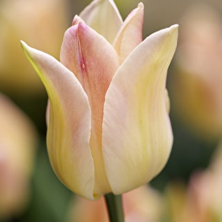 Tulip 'Elegant Lady' and Wallflower 'Sunset Apricot'