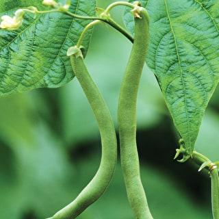 French Bean 'Cobra' Climbing
