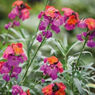 Erysimum 'Winter Orchid'