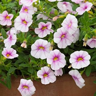 Calibrachoa Dream Kisses 'Magnolia'