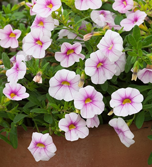 Calibrachoa 'Dream Kisses Magnolia'