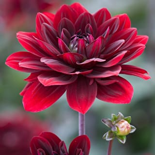 Brown Sugar Dahlia Collection
