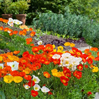 Iceland Poppies 'F1 Champagne Bubbles Mix'